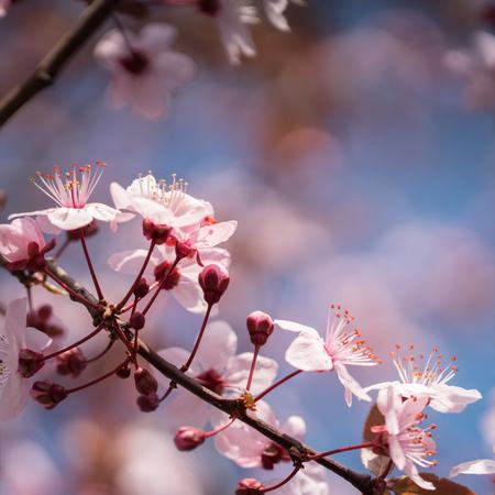 Sakura. Branches of cherry blossoms 版權商用圖片