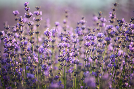 Branches of flowering lavender.