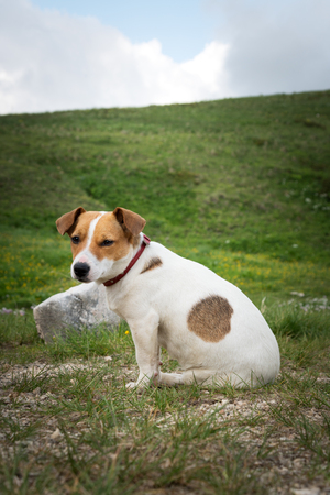 Beautiful jack russell terrier on the green grass 版權商用圖片