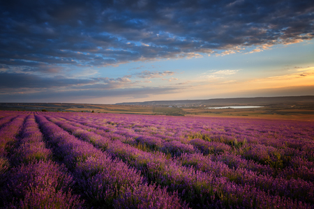 Landscape. A large lavender field at sunset Stock Photo