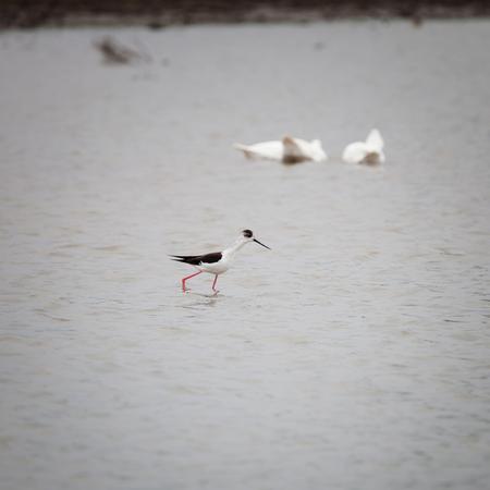 Bird (Himantopus himantopus) feeds in the shallow pond 版權商用圖片