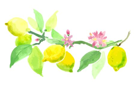 watercolor technique: Blooming lemon. The branch of a lemon with fruits and flowers. watercolor technique