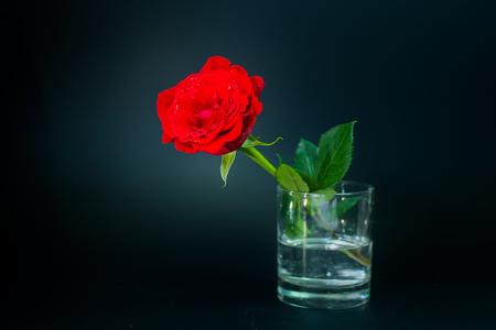 scarlet: Scarlet rose in a vase on a black background
