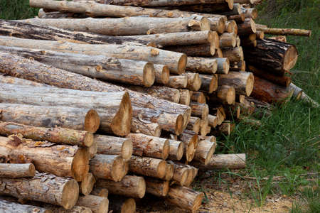 Felled trees. Trunks of pines. Logs. Woodpile. Logs at a sawmill. Woden background.