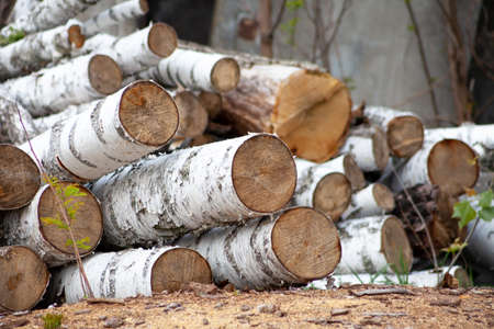 Birch tree. Felled trees. Trunks of pines. Logs. Woodpile. Logs at a sawmill.