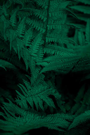 Fern leaves background. Green leaves of a bush. Free space. Green wild vegetation in nature for nature theme background design. Deciduous plant in nature. Green color background.
