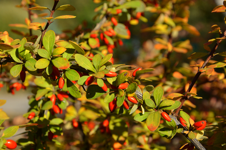 Bush with berries of barberry photo