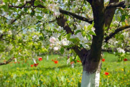 Blooming tree in spring garden, apple trees and tulips photo
