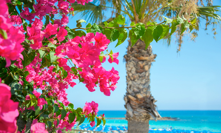 Bright pink flowers, palm tree and sea views on the coast of Cyprus