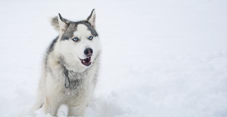 A dog of Siberian husky breed runs through the snow