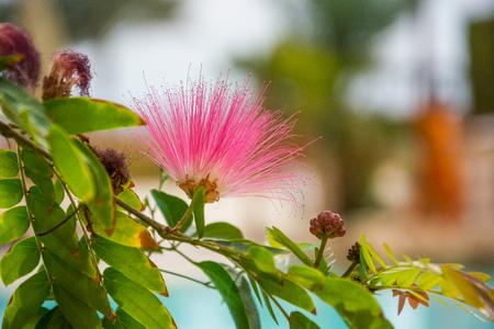 Pink exotic flower - Albizia julibrissin. Persian silk tree, pink silk tree.