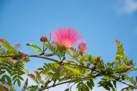 Albizia julibrissin. Persian silk tree, pink silk tree. Reklamní fotografie - 119446782