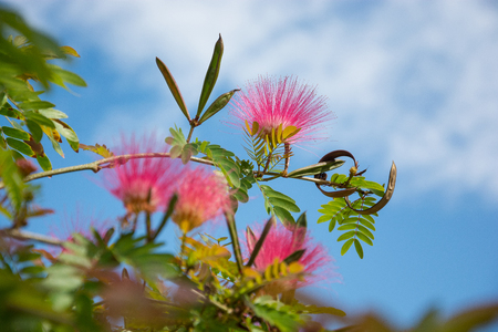 Silk Tree Mimosa. Albizia julibrissin rosea, bush