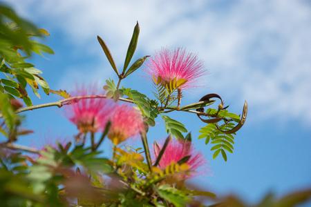 Silk Tree Mimosa. Albizia julibrissin rosea, bush Reklamní fotografie - 119446830