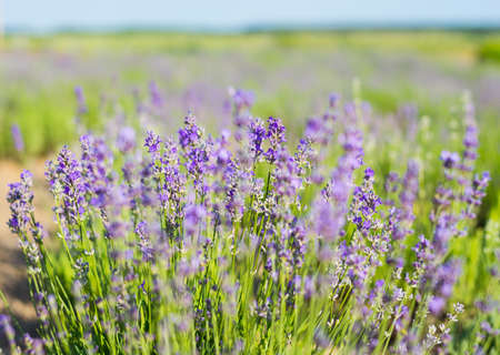 Lavender flowers on a lavender field. Blooming lavender, trees and sky in summer