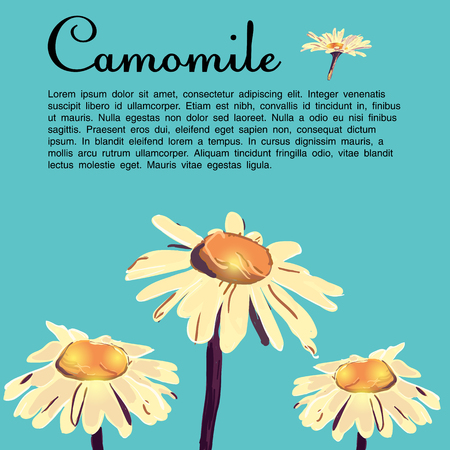 camomile flower: Daisy, camomile, chamomile garden flowers. Hand drawn artwork. Love concept for wedding invitations, cards, tickets, congratulations. flower with artistic abstract effect daisy wheel isolated