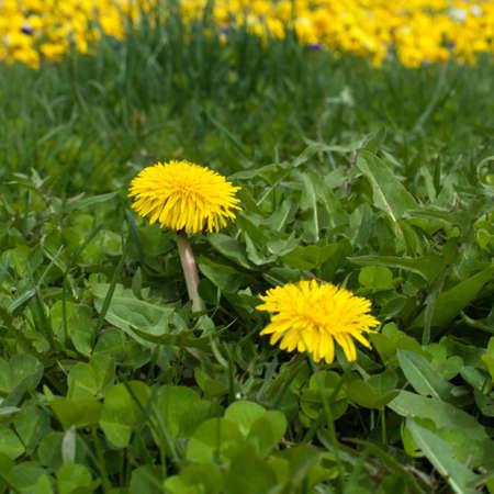 two dandelions in the meadow