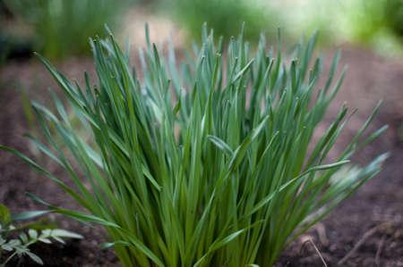 Bunch of a green grass in the garden Stock Photo