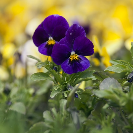 Flowers of Viola Tricolor in the garden