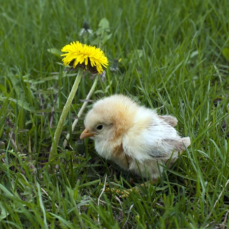 one baby chicken and green grass