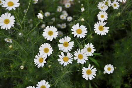 marguerites: Spring flowers marguerites in a grean meadow