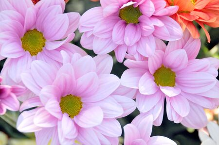 Colorful fresh spring daisies flowers Stock Photo