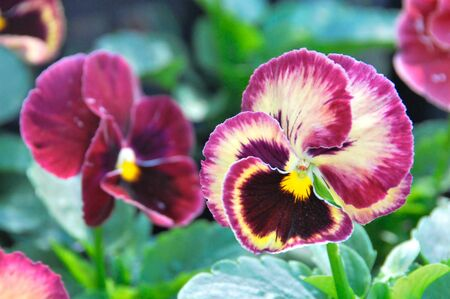 Close up of violet pansy Stock Photo