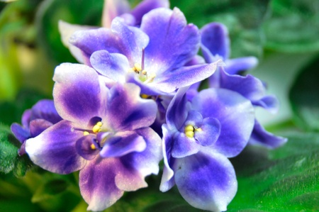 Saintpaulia, commonly known as African violet