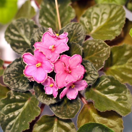 Saintpaulia, commonly known as African violet photo