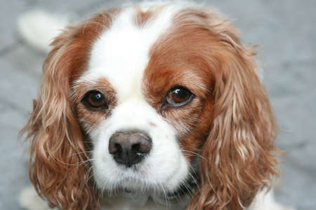 ble: Cavalier King Charles Spaniel Dog Looking at Camera