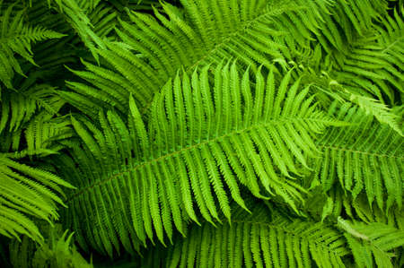 Beautyful ferns leaves green foliage natural floral fern background in sunlight. 스톡 콘텐츠