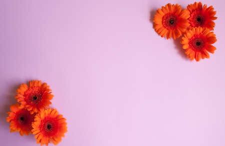 Bright orange gerbera flowers on pink background. Flower frame design. 스톡 콘텐츠