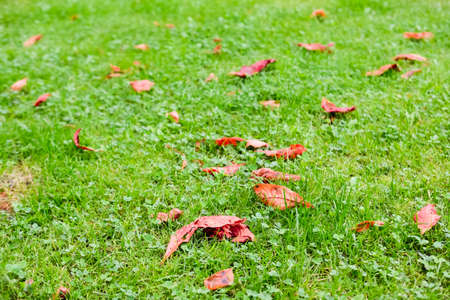 Dry red leafs on bright green grass in September. Fall seasonal colors concept.