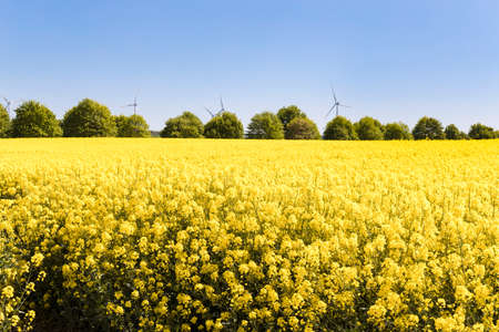 Beautiful yellow rapeseed flowers field and vibrant blue sky. Nature, colorful landscape. 免版税图像