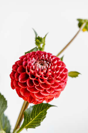 Beautiful red dahlia flower on white background. Festive concept.