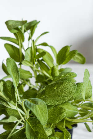 Fresh green aromatic sage plant on white background. 免版税图像