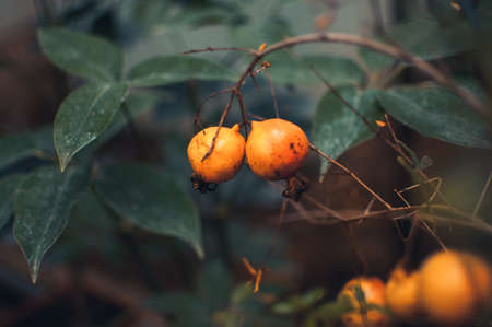 Ripe pomegranate fruits hanging on tree branches in an indoor garden. Harvest concept. soft selective focus, place for text