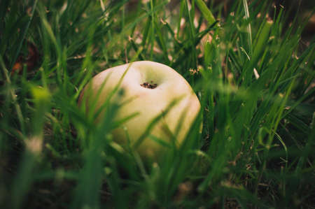 Green juicy apple lies in the wet grass in the summer under a tree. Apple harvest. Summer or spring background. Healthy eating Harvest concept.Copy spase. Selective focus