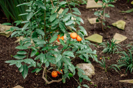 tangerines on a tree with green leaves in green nursery for plants. Fresh juicy citrus fruits ready for harvest. Agriculture of Sicily, Spain. Concept of picking citrus fruits before winter delivery.