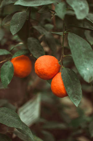 tangerines on a branch with green leaves in a plant nursery. Fresh juicy citrus fruits ready for harvest. Agriculture of Sicily, Spain. Concept of picking citrus fruits before the winter holidays.