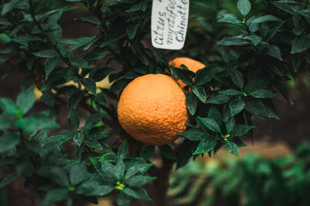 tangerines on branch with green leaves in plant nursery close-up. Fresh juicy citrus fruits ready for harvest.Agriculture of Sicily, Spain. Concept of picking citrus fruits before the winter holidays. Фото со стока