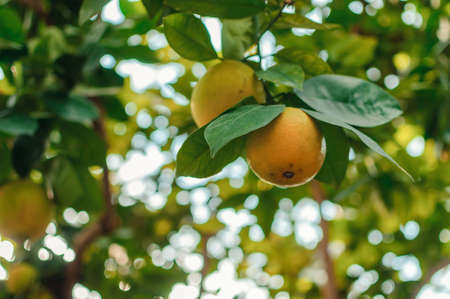 lemons on a branch with green leaves in a plant nursery close-up. Fresh juicy citrus fruits ready for harvest. Agriculture of Sicily, Spain. Citrus harvest concept before winter holidays. Фото со стока