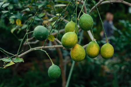 lemons on a branch with green leaves in a plant nursery close-up. Fresh juicy citrus fruits ripen. Agriculture of Sicily, Spain.