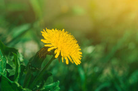 blooming yellow dandelion flowers Taraxacum officinale in garden on spring time. Detail of bright common dandelions in meadow at springtime. Used as a medical herb and food ingredient