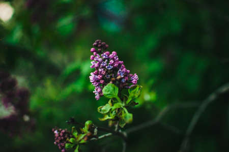 Branch of sirens on a tree in the garden, park in the sun. Beautiful blooming lilac flowers in the spring. Flowering in may. Spring concept. Template for design.