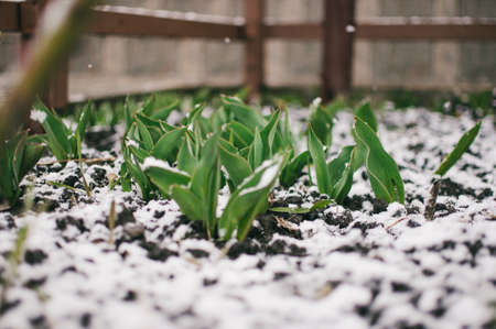 Tulips sprout from the ground through white snow in the chill of springtime. Tulip leaves are covered with frosty ice. Frozen fresh green leaves of a tulip. Reklamní fotografie