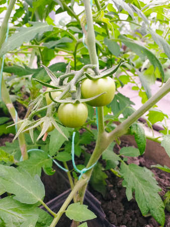 Fresh green tomatoes plant organic vegetable with drops hanging on vine of tomato tree for cooking or tomato juice high in fiber,healthy food.The concept of gardening and seedlings.