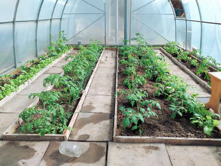 Tomato seedlings are planted in the greenhouse in early spring. The concept of growing vegetables at home. Reklamní fotografie