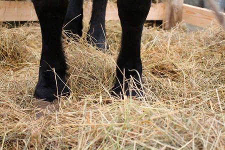 feet hoof horse stands on a straw Mat on a farm in the paddock