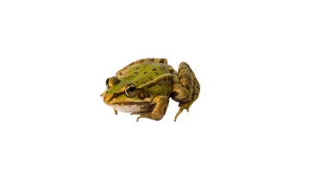 freshwater: freshwater frog